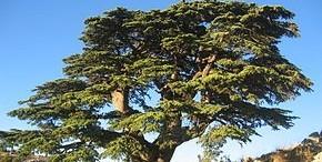 Cèdre du Liban - Wikipédia